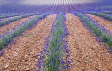 provence, france, south of france, lavender fields, sunflower fields,